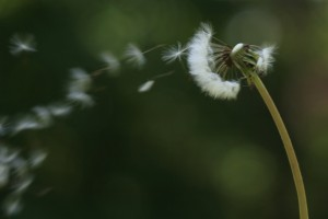 dandelion_in_wind